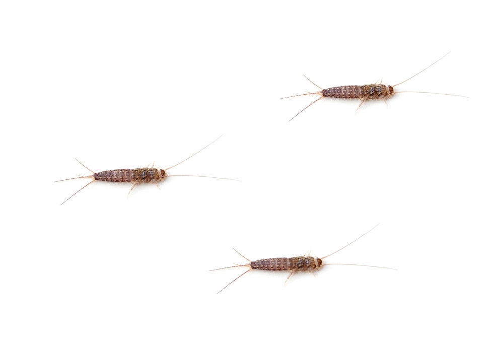 how-to | remedy & prevent silverfish